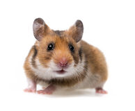 小的仓鼠 免版税库存照片