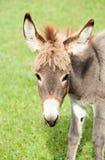 小的驴 免版税库存图片