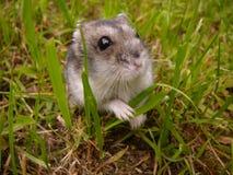 小的djungarian仓鼠 免版税库存图片