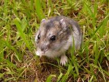 小的djungarian仓鼠 免版税图库摄影