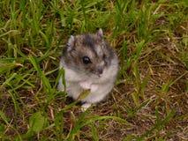 小的djungarian仓鼠 图库摄影
