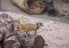 小的meerkat 图库摄影