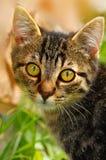 小的Tomcat 库存照片