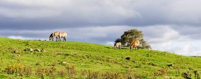 小盒Przewalski野马在高地野生生物徒步旅行队公园,苏格兰吃草 免版税图库摄影