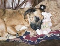 小睡与一只被充塞的复活节兔子的狗 免版税库存图片