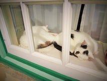 小睡双的猫 库存图片
