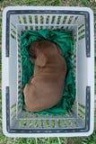 小睡困棕色拉布拉多公的小狗供以人员胸口中间天 免版税库存照片