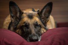 小睡在枕头的德国牧羊犬狗 免版税库存照片
