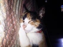 小睡我美丽的猫 库存照片