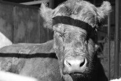 小睡的公牛 图库摄影