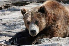 小睡的北美灰熊 库存图片