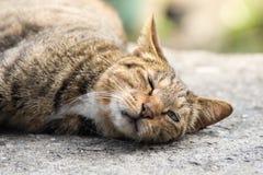 小睡的家猫 免版税库存图片