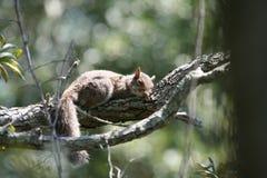 小睡的灰鼠 图库摄影