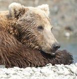 小睡的熊 免版税库存图片