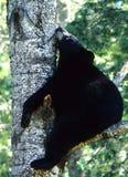 小睡的熊 免版税库存照片