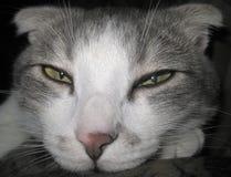 小睡的猫 免版税库存图片