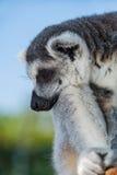 小睡的环纹尾的狐猴 免版税库存照片