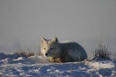 小睡的白狐 免版税库存照片