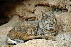 小睡的美洲野猫关闭单色 图库摄影