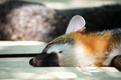 小睡的Fox 库存照片