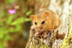 小睡鼠 库存图片