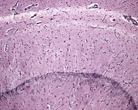 小神经胶质细胞 海怪 图库摄影