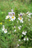 小米草或Eyewort (Euphrasia rostkoviana) 图库摄影