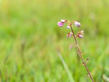 小精美桃红色花卉生长在草 免版税库存照片