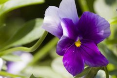 小紫色和白花,花 库存图片