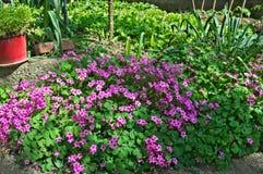 小紫色花在春天太阳的庭院里 免版税库存照片