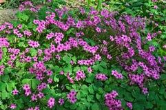小紫色花在春天太阳的庭院里 免版税库存图片