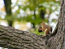 小红松鼠在黑核桃木咬 库存照片