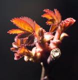 小红色在分支离开在春天 特写镜头 免版税库存照片