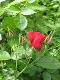 小红色的玫瑰 免版税库存照片
