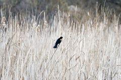 小红色翼黑鹂在轻的春天芦苇,好漂亮的东西或人中栖息 库存照片
