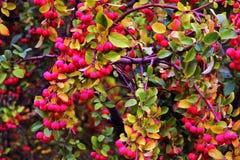 小红色苹果在树增长 免版税库存照片
