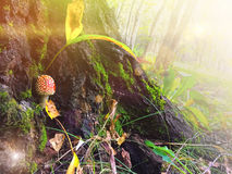 小红色蘑菇伞形毒蕈muscria在森林里 免版税图库摄影