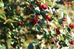 小红色野生莓果 免版税库存照片