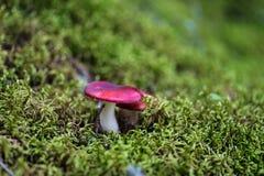 小红茹属蘑菇 库存照片