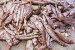 小红鲻鱼 免版税库存照片