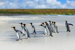 小组一起回来从海的企鹅国王使与波浪蓝天,志愿点,福克兰群岛靠岸 野生生物sc 库存照片