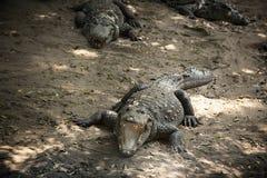 小组三条鳄鱼 图库摄影