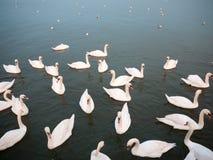 小组下面下来白色疣鼻天鹅在水动物鸟backgr 库存照片