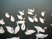 小组下面下来白色疣鼻天鹅在水动物鸟backgr 免版税库存图片