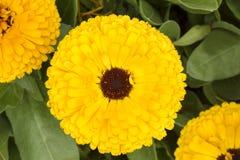 小组与黑暗的心脏的双重黄色金盏草Officinalis 库存照片