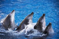 小组五只海豚在蓝色绿松石水中 库存图片
