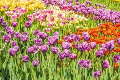 小组五颜六色的郁金香 阳光点燃的紫色花郁金香 软的选择聚焦,郁金香接近  明亮的五颜六色的郁金香照片b 库存图片