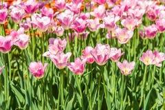 小组五颜六色的郁金香 阳光点燃的紫色花郁金香 软的选择聚焦,郁金香接近  明亮的五颜六色的郁金香照片b 库存照片