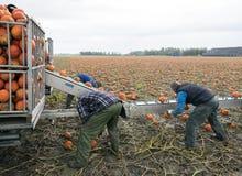 小组人在荷兰收获在领域的橙色南瓜在格罗宁根省  库存图片