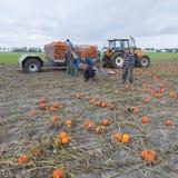 小组人在荷兰收获在领域的橙色南瓜在格罗宁根省  免版税图库摄影